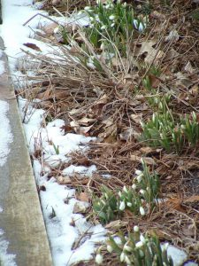 Snowdrops emerging - like the condo market?